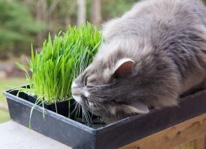 Earl Grey samples the cat grass.