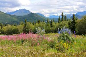At last, a few flowers that are not fireweed!