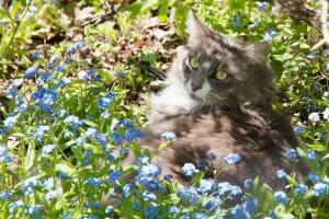 Earl Grey enjoys lying in a field of Forget-Me-Nots